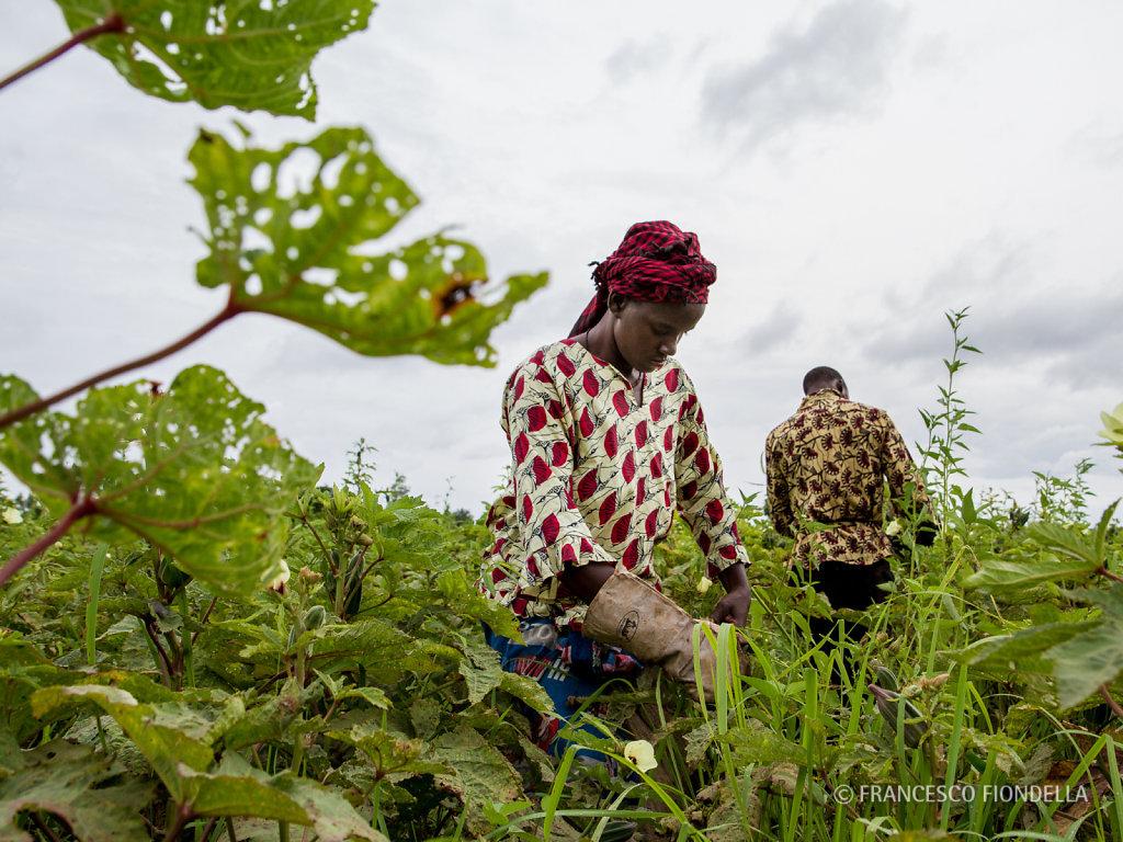 Okra Harvest
