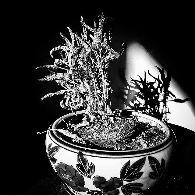 Chili plant. _captures _bnw _bnw _sniper  _bnw _bw _divine _energy_bw _bw _kings _society _planet _bnw _creatives _diamond _bnw _us_bw